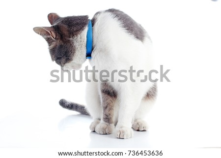 Cute domestic cat in studio. Cat in white background. Silver grey and white cat on isolated background. Cat cut out.