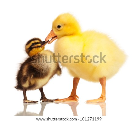 Cute domestic duckling and gosling isolated on white background