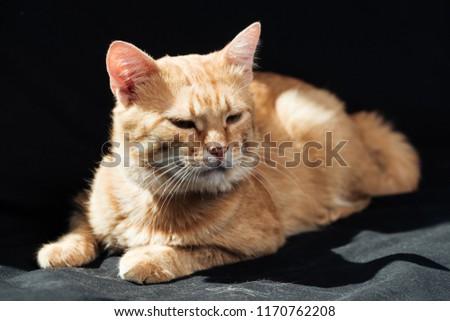 cute domestic ginger cat dozing on black blanket
