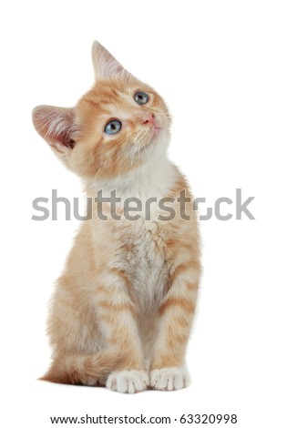 Cute domestic kitten looking up, white background