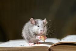 Cute domestic pet grey rat eating apple on book