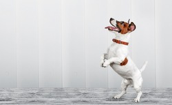 Cute domestic puppy standing on its hind legs.