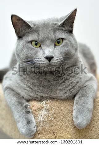 Cute domestic short hair cat - gray with a black nose rests on a stair with her paws wrapped over the front of the step
