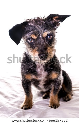 Cute Dorkie Dog Mixed Breed Of Dachshund And Yorkie Ez Canvas