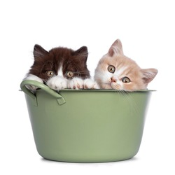 Cute duo of British Shorthair / Longhair kittens in varied colors, sitting in green washing tub. All looking towards camera. Isolated on white background.