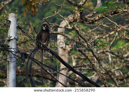 Cute Dusky Langur sitting on the wires, Malaysia