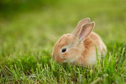 Cute easter orange bunny rabbit on green grass and green blurred background. Close up