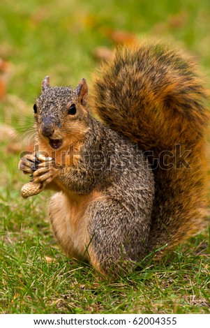 Cute Eastern Fox Squirrel Eating A Peanut