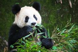 Cute Eating Panda, China