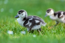 Cute Egyptian goose chicks walking on a meadow at the so called Kalscheurer Weiher, a pond in Cologne, Germany at a sunny day in summer.