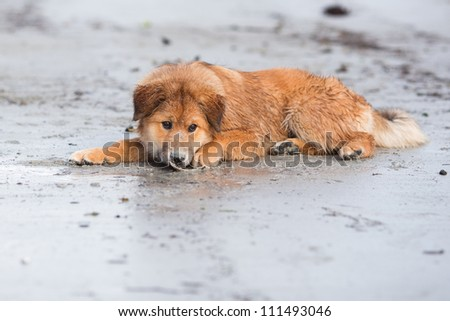 cute Elo dog lies in the sand with a shell in front of his nose