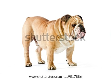 Cute english bulldog dog portrait staying in position isolated on white - stock photo