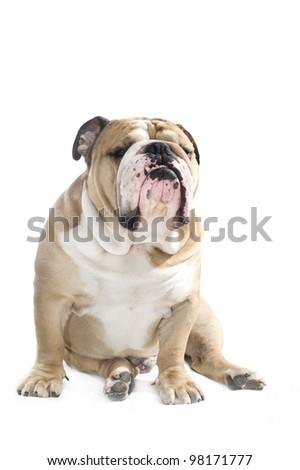 Cute english bulldog portrait isolated on white