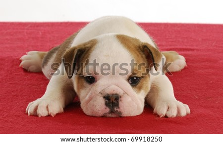 cute english bulldog puppy laying down on red blanket - 5 weeks old - stock photo
