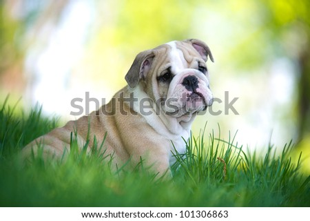 Cute english bulldog puppy playing outdoors