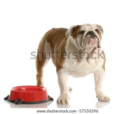 cute English bulldog puppy standing beside food dish looking up waiting to be fed