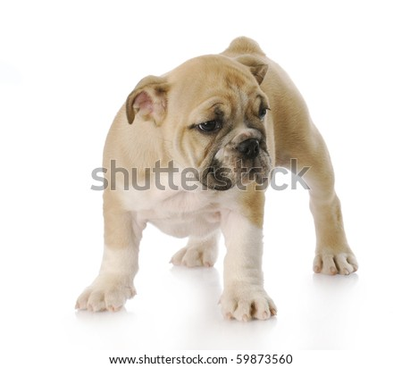 cute english bulldog puppy standing with reflection on white background - three months old