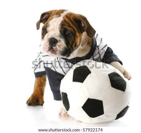 cute english bulldog puppy wearing sports jersey playing with soccer ball  with reflection on white background 454f9276c