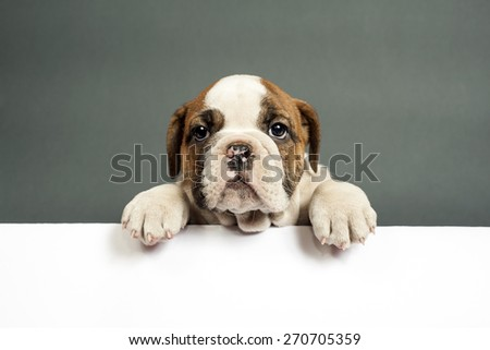 Cute English bulldog puppy  with paws on a message board .