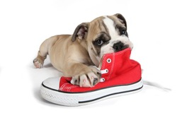 cute english bulldog puppy with red sneakers