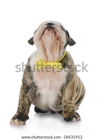 cute english bulldog puppy with yellow bowtie looking up with reflection on white background
