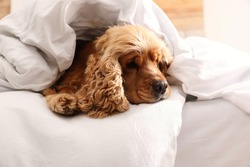 Cute English cocker spaniel covered with soft blanket on bed