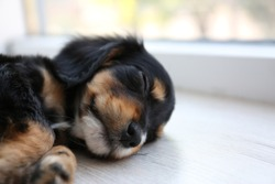 Cute English Cocker Spaniel puppy sleeping on floor indoors. Space for text