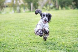 Cute English Cocker Spaniel running happy