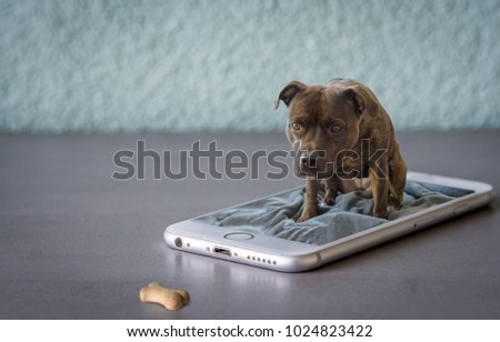 Cute English Staffordshire Bullterrier watching her dog treat when sitting on a mobile phone. Comic picture concept. #1024823422