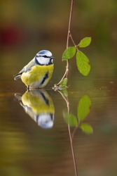 Cute eurasian blue tit, cyanistes caeruleus, sitting in water about to drink or bathe. Reflection of garden bird in a pond from front view with copy space. Symmetrical vertical photo of wild animal.