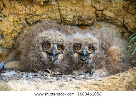 Cute eurasian eagle-owl, bubo bubo, younglings hiding under rocks of cliff and facing camera. Small nocturnal birds opening beaks on nest in nature from front view. Stockfoto ©