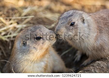 Cute European ground squirrel, suslik with food. Photo from world of wild animals.