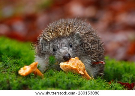 Cute European Hedgehog, Erinaceus europaeus, eating orange mushroom in the green moss