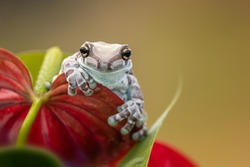 Cute exotic frog on a red flower. Typical rainforest animal. Mission golden-eyed tree frog or Amazon milk frog (Trachycephalus resinifictrix). Living in tropical forest in Amazonia, South America.