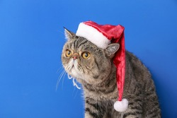 Cute exotic shorthair cat in Santa hat on color background