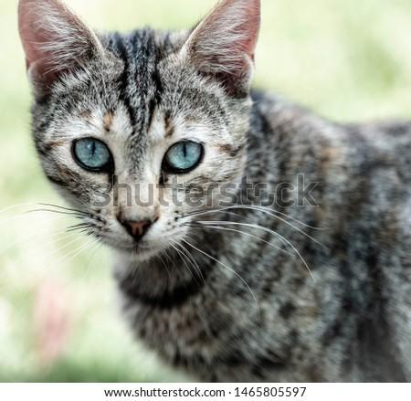 Cute face and portrait of a beautiful cat. Domestic cat. #1465805597