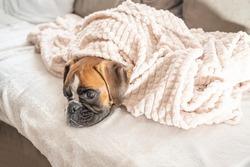 cute face 9 months old purebred golden puppy german boxer dog closeup sleeping under blanket warming up cuddling