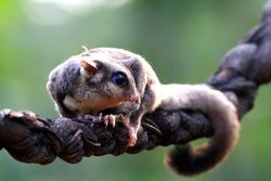 Cute face sufar glider on wood, sugar glider closeup, sugar glider climbing on branch