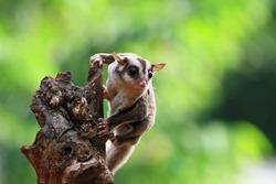 Cute face sufar glider on wood, sugar glider closeup, sugar glider climbing on wood