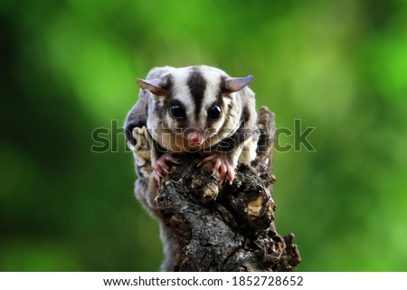 Cute face sufar glider on wood, sugar glider closeup, sugar glider climbing on wood Сток-фото ©