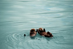Cute family of sea otters floating, playing and swimming in the sea