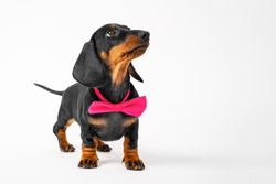 Cute fashionable dachshund puppy with pink bow tie around neck looks up with interest, front view, white background, copy space. Baby dog is waiting for something. Fancy costumes for pets