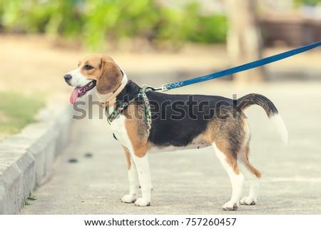 Cute female beagle dog on the beach of Bali island. #757260457