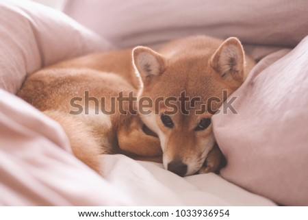 Cute female pedigree shiba inu dog with red fur sleeping in human bed with pink sheets, closeup with natural light from window. Dreamy peaceful. #1033936954