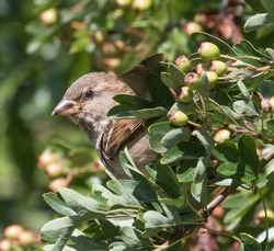 Cute female sparrow peeking out from the hedgerow