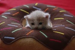 Cute fifteen-day kitten on donut pillow