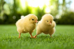 Cute fluffy baby chickens together on green grass outdoors