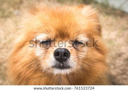 Cute fluffy  brown pomeranian dog  #761523724