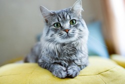 Cute fluffy cat lies on sofa. Tabby lovely kitten with green eyes and long gray hair.