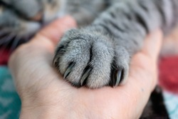 Cute fluffy cat paw on hand. Friendship with a pet. Gray striped cat. Paw with claws. Animal welfare